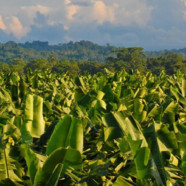 Aiding the banana industry through the Cyclone Larry recovery